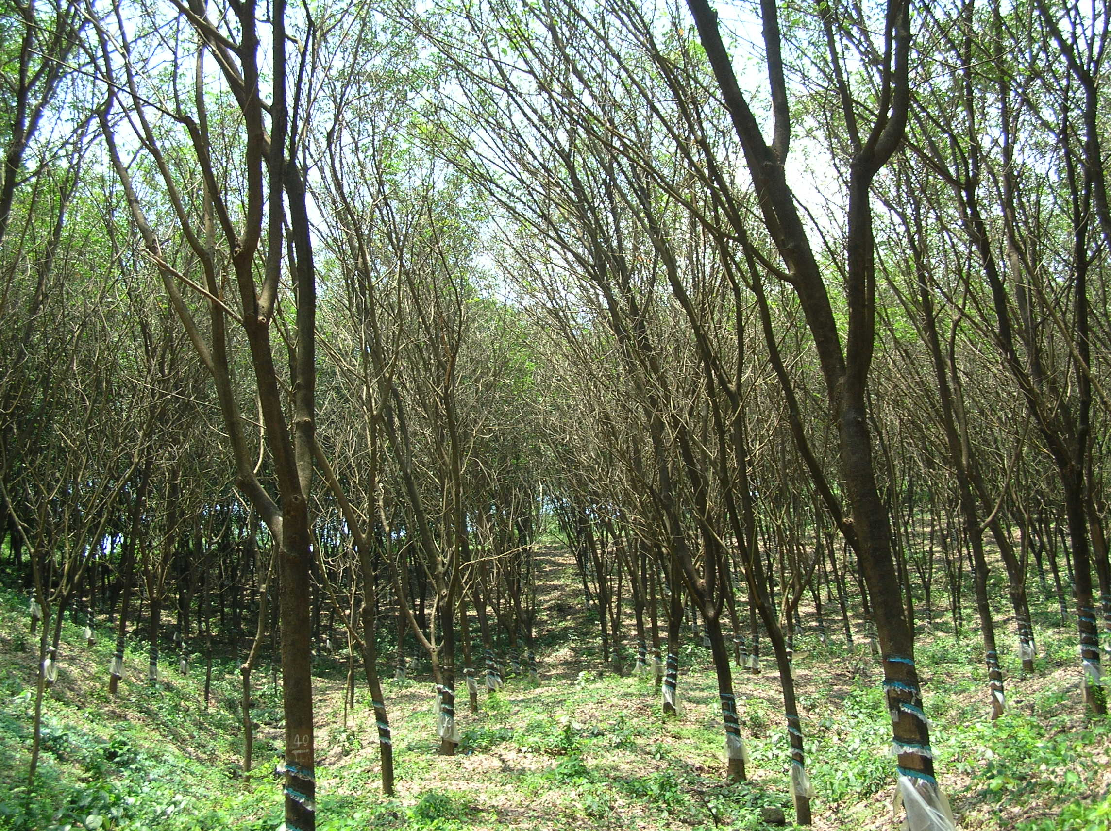 Diseases in rubber plants